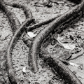 Root snakes